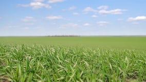 I giovani germogli sono nel campo verde di erba del fuoco del primo piano selettivo Cielo blu con le nubi video d archivio