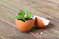 I giovani germogliano a metà delle coperture dell'uovo Fotografie Stock