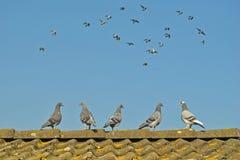 I giovani piccioni guardano i piccioni di volo Immagini Stock