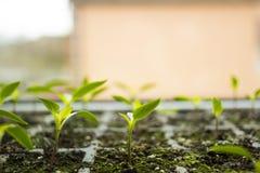 I giovani piccoli fiori dei germogli hanno germogliato in vassoio per il lato delle piantine Fotografia Stock Libera da Diritti