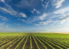 I giovani raccolti della soia al giorno soleggiato idilliaco Fotografia Stock Libera da Diritti