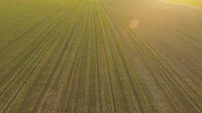 I giovani raccolti di grano Cereali di inverno Campo verde del grano ascendente al tramonto Siluetta dell'uomo Cowering di affari archivi video