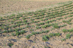 I giovani tiri del letto delle patate Patate crescenti nel giardino Pezzo di terra coltivato alla patata nel giardino Fotografie Stock Libere da Diritti