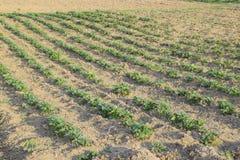 I giovani tiri del letto delle patate Patate crescenti nel giardino Pezzo di terra coltivato alla patata nel giardino Immagini Stock