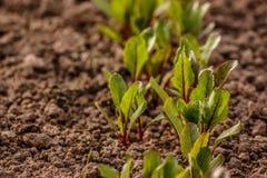 I giovani tiri delle foglie di barbabietola sulla terra fotografia stock libera da diritti
