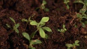 I giovani tiri hanno germogliato da terra Alberelli crescenti Germogli in piantagione video d archivio