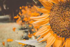 I girasoli d'annata, girasoli che fioriscono, ingiallisce i fiori, giacimento del girasole Immagine Stock Libera da Diritti