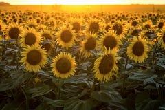 I girasoli di fioritura su un fondo della sera dorata si accendono Immagine Stock