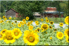 I girasoli si sviluppano da una Camera dell'azienda agricola   Immagine Stock Libera da Diritti