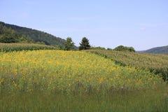 I girasoli sistema nelle montagne della Germania, Hettigenbeuern Immagine Stock