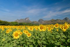 I girasoli sistemano l'azienda agricola in Lop Buri fotografia stock libera da diritti