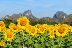 I girasoli sistemano l'azienda agricola in Lop Buri immagine stock libera da diritti