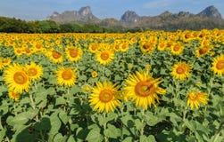 I girasoli sistemano l'azienda agricola in Lop Buri fotografie stock libere da diritti