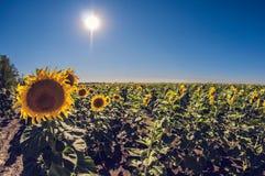 I girasoli sistemano un giorno soleggiato in un chiaro cielo blu, distorsione del fisheye immagine stock libera da diritti