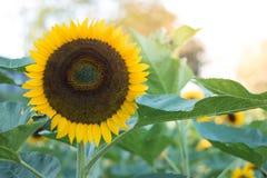I girasoli sui girasoli sistemano ed offuscano il fondo, vermi in fiori Immagine Stock