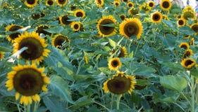 I girasoli sui girasoli sistemano ed offuscano il fondo, vermi in fiori Fotografie Stock