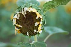 I girasoli sui girasoli sistemano ed offuscano il fondo, vermi in fiori Fotografia Stock Libera da Diritti