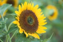 I girasoli sui girasoli sistemano ed offuscano il fondo, vermi in fiori Immagini Stock Libere da Diritti