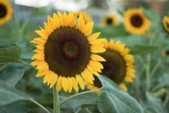 I girasoli sui girasoli sistemano ed offuscano il fondo, vermi in fiori Immagini Stock