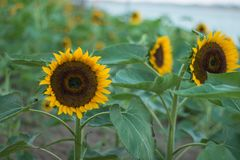 I girasoli sui girasoli sistemano ed offuscano il fondo, vermi in fiori Fotografia Stock