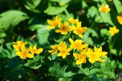 I globeflowers nel punto scenico immagine stock libera da diritti