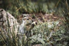 I gopher divertenti svegli stanno mangiando, penisola di Kamchatka, la Russia immagine stock