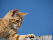 I Got It!. Picture of orange kittens head, shoulders and left front leg outstretched to reach the end of a plank. Background of blue sky with space to type text Stock Images