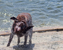 I Got My Eye on You. Chocolate Labrador Retriever shaking off after a swim in the water at a dog park. Only one eye is opened as droplets of water go flying from Royalty Free Stock Images