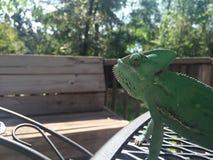 Chameleon Life Stock Photo
