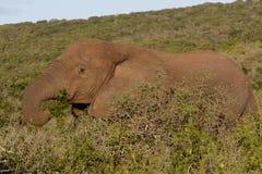 I gräsplanen den afrikanska Bush elefanten Arkivbilder