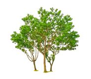 I grandi alberi hanno isolato, gruppo di vasto mogano della foglia, conosciuto altrettanto nome sono mogano falso, l'Honduras, gr fotografie stock libere da diritti
