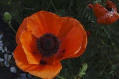 I grandi bei fiori rossi di un germoglio fioriscono in mezzo dei campi nei colori pastelli Fotografia Stock