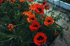 I grandi bei fiori rossi fioriscono in mezzo dei campi nei colori pastelli Fotografie Stock Libere da Diritti