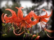 I grandi fiori dei gigli rossi Fotografia Stock Libera da Diritti