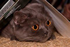I grandi occhi gialli del gatto brithish grigio immagini stock libere da diritti