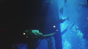 I grandi pesci stanno galleggiando in un grande acquario archivi video