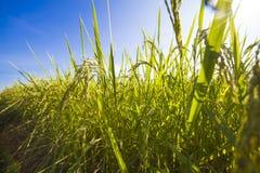 I grani del riso raccolti Fotografia Stock Libera da Diritti