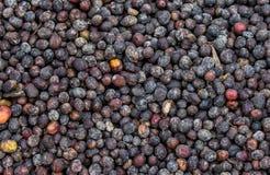 I grani di caffè maturo si trovano sotto il sole Primo piano La Tanzania Piantagione di caffè Fotografia Stock Libera da Diritti
