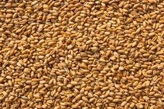 I grani di grano nella fine sulla vista perfezionano il ima di struttura dell'agricoltura Fotografie Stock