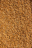 I grani di grano nella fine sulla vista perfezionano il ima di struttura dell'agricoltura Immagine Stock Libera da Diritti