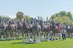 I gruppi di sei cavalli da tiro alla fiera paesana Fotografia Stock Libera da Diritti
