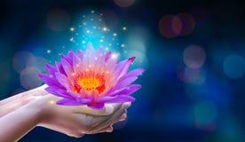 I händerna av ett rosa ljust för blommalotusblomma - purpurfärgad sväva ljus purpurfärgad bakgrund för gnistrande royaltyfri fotografi