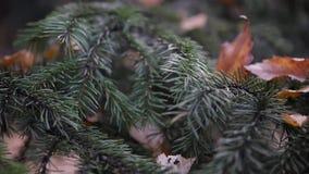 I hösten parkera, en grön gran med gulingsidor på visare Slowmotion HD 1920x1080 stock video