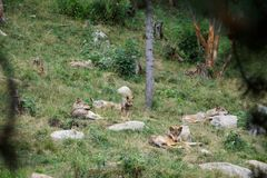 Resting wolf pack in the Pyrenees stock photography
