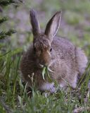 Snowshoe hare in the Olympic Wilderness, Olympic National Park, Washington royalty free stock photos