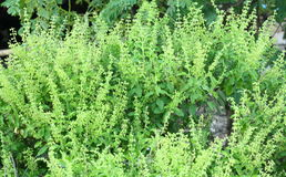 I have basil. Garden work ornamental plants nature ornamental plants  trees Basil Royalty Free Stock Images