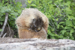 I have fleas. Marmot cleaning self from fleas Royalty Free Stock Photo