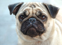 I have a fly on my face. Pug dog portrait with a fly on dog's face Royalty Free Stock Photo