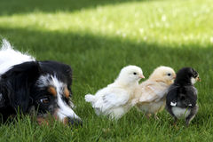 I have My Eye On You. A watchful herding dog keeping an eye on her chicks royalty free stock image