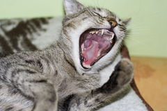 I have nothing to eat!!!. Shouting cat royalty free stock images